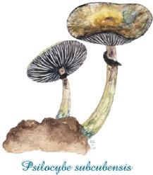 Psilocybe cubensis/Psilocybe subcubensis